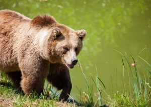 bear-bavarian-bear-wild-brown-bear-162340