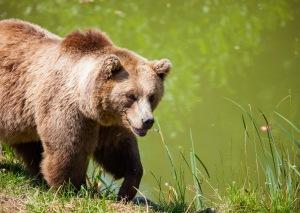 bear-bavarian-bear-wild-brown-bear-162340