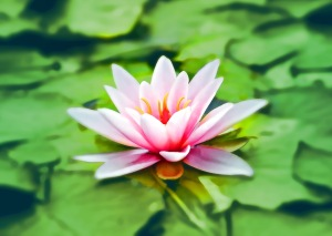 waterlily-pink-water-lily-water-plant-158465 (1)