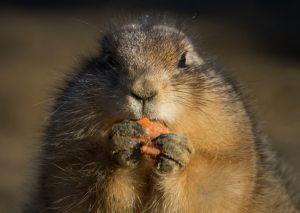 eating-animal-carrot-prairie-dog