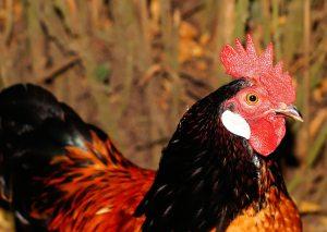 hahn-domestic-chicken-pride-red-ridge-53202