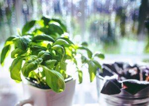 basil-herbs-5818